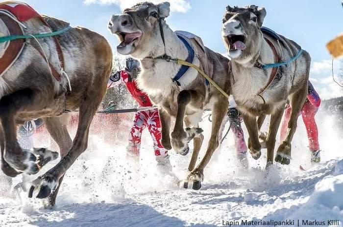 reindeer racing in Inari